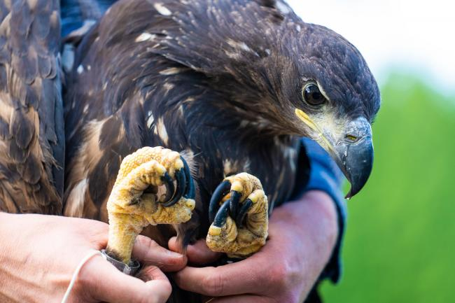 White-tailed Eagles being tagged in preparation for release on Wednesday morning..