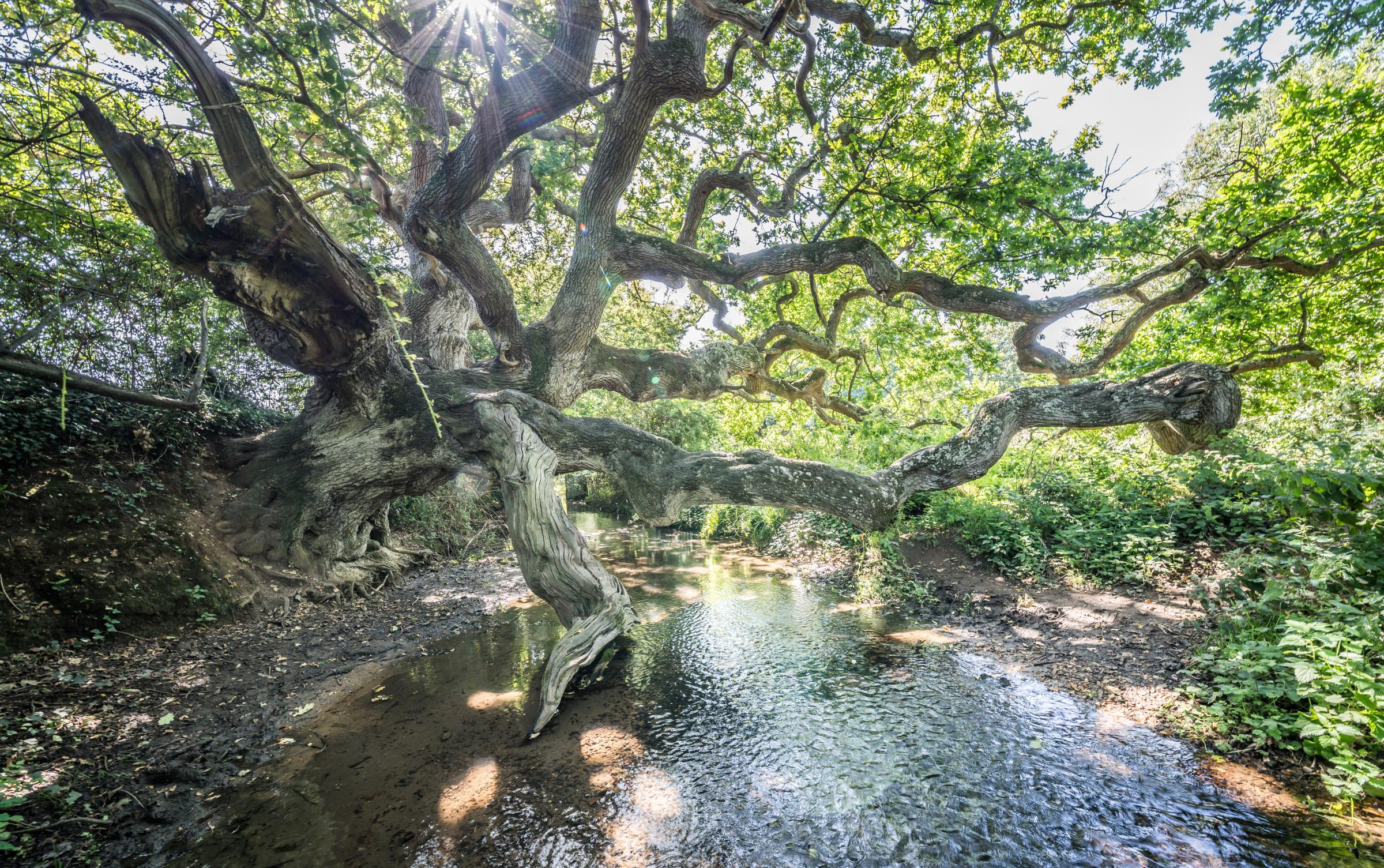Isle of Wight's dragon tree comes third in Woodland Trust's tree of the year competition