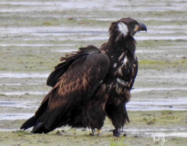 Maria Yule was lucky enough to picture one of the juvenile white-tailed sea eagles.