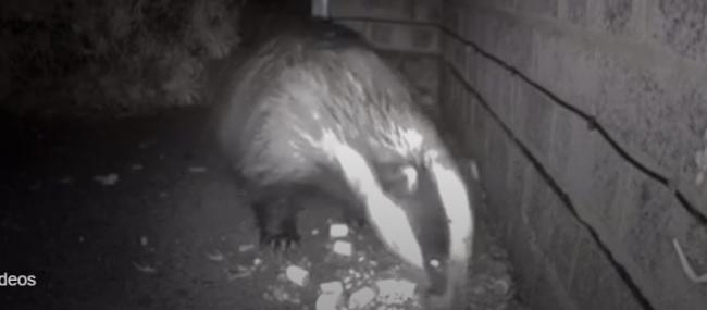 One of the badgers previosuly captured on film in Mr Shoebridge's garden.