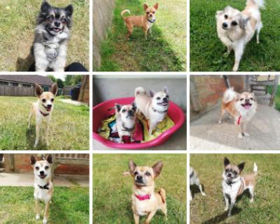Image: RSPCA Facebook page of the rescued chihuahuas who need new homes