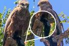 Sabre the black kite and the swiped socks
