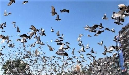 2020 was an outstanding season for pigeon racers across the Island.