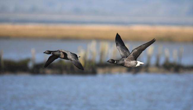Ricky Ashanollah captured Brent geese in flight