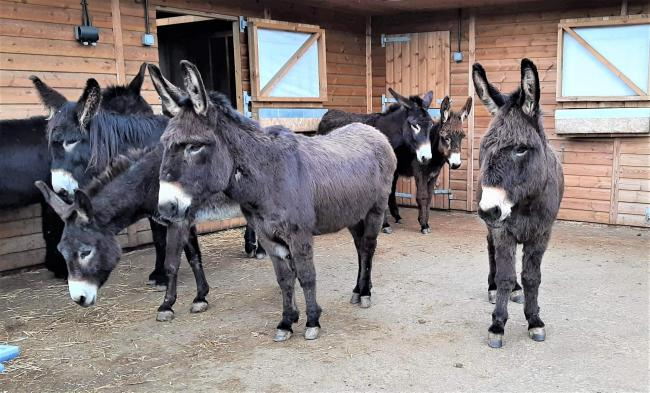 Some of the French donkeys which arrived at the Isle of Wight Donkey Sanctuary, Wroxall, yesterday (Saturday).