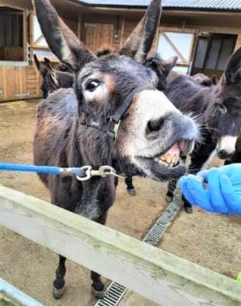 Isle of Wight County Press: One of the new French donkeys enjoying a treat.