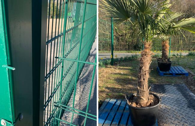 The damaged fence at Forest View Nursery and (right) an example of the palm trees stolen from the site.