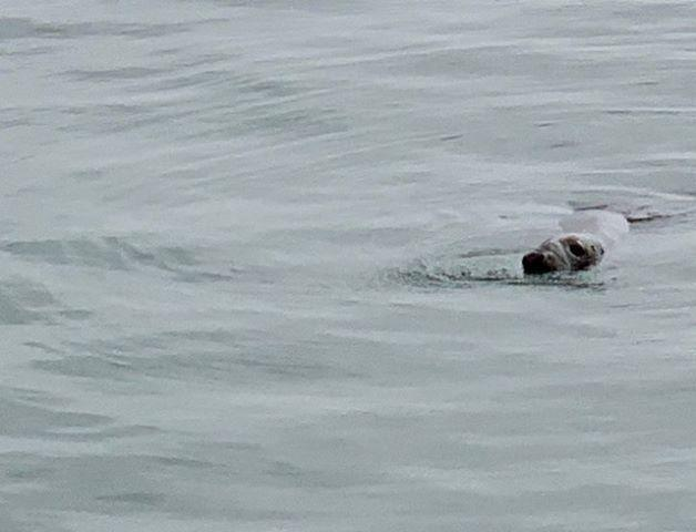 This seal was spotted at Yarmouth Pier by CP reader Bob Smith.