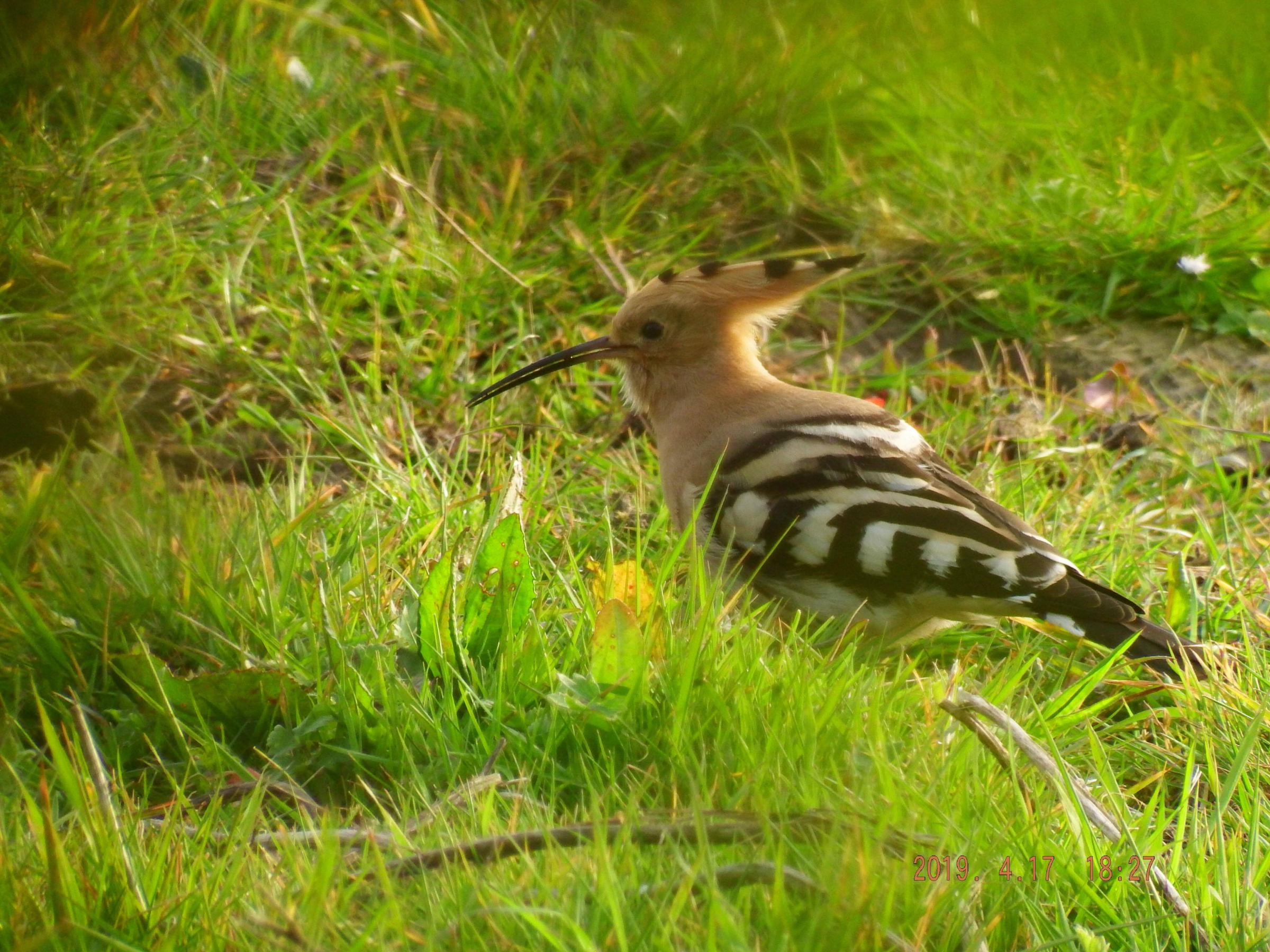 WATCH: Rare hoopoe bird spotted on Isle of Wight captured on video