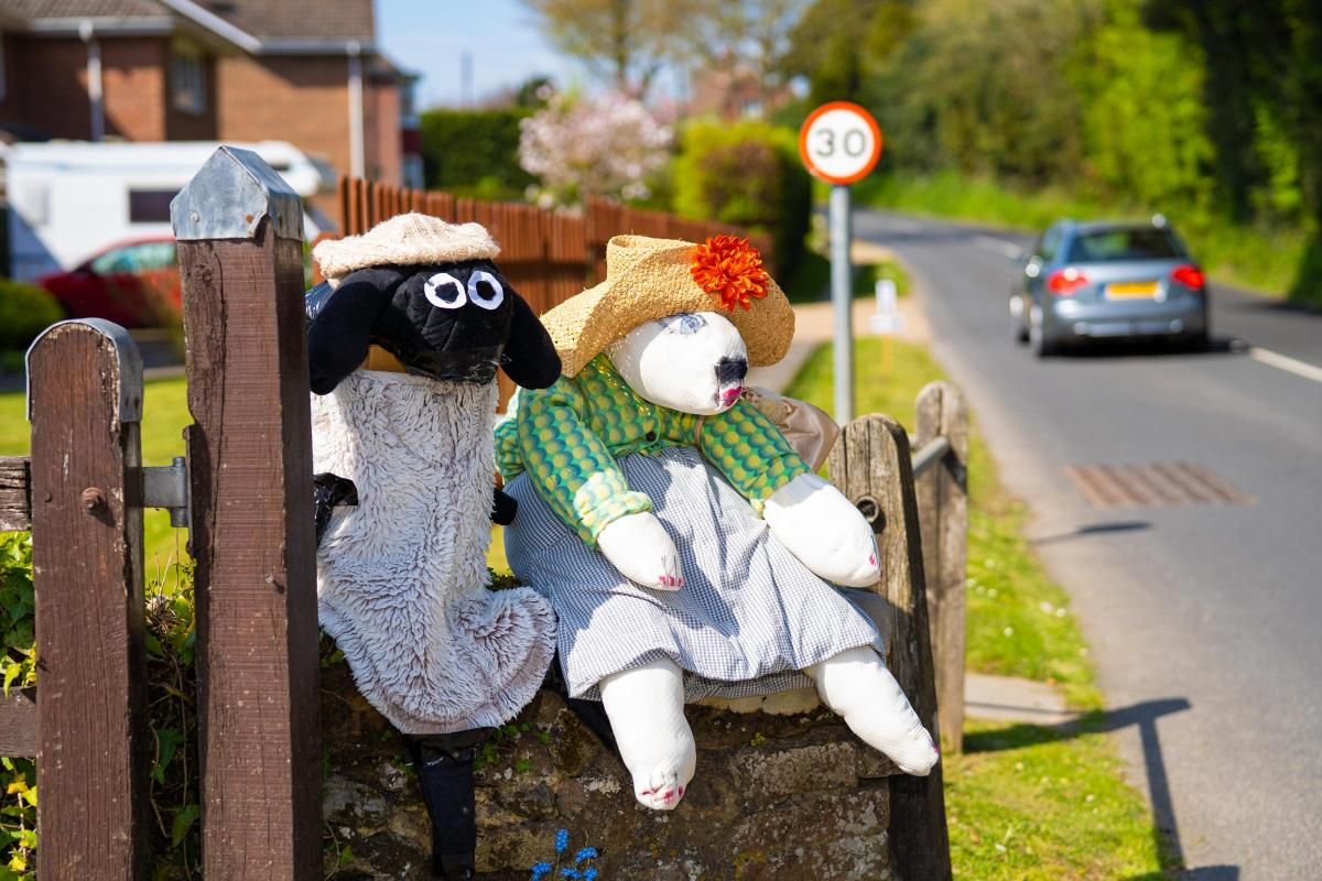 Sheep flock to Shorwell