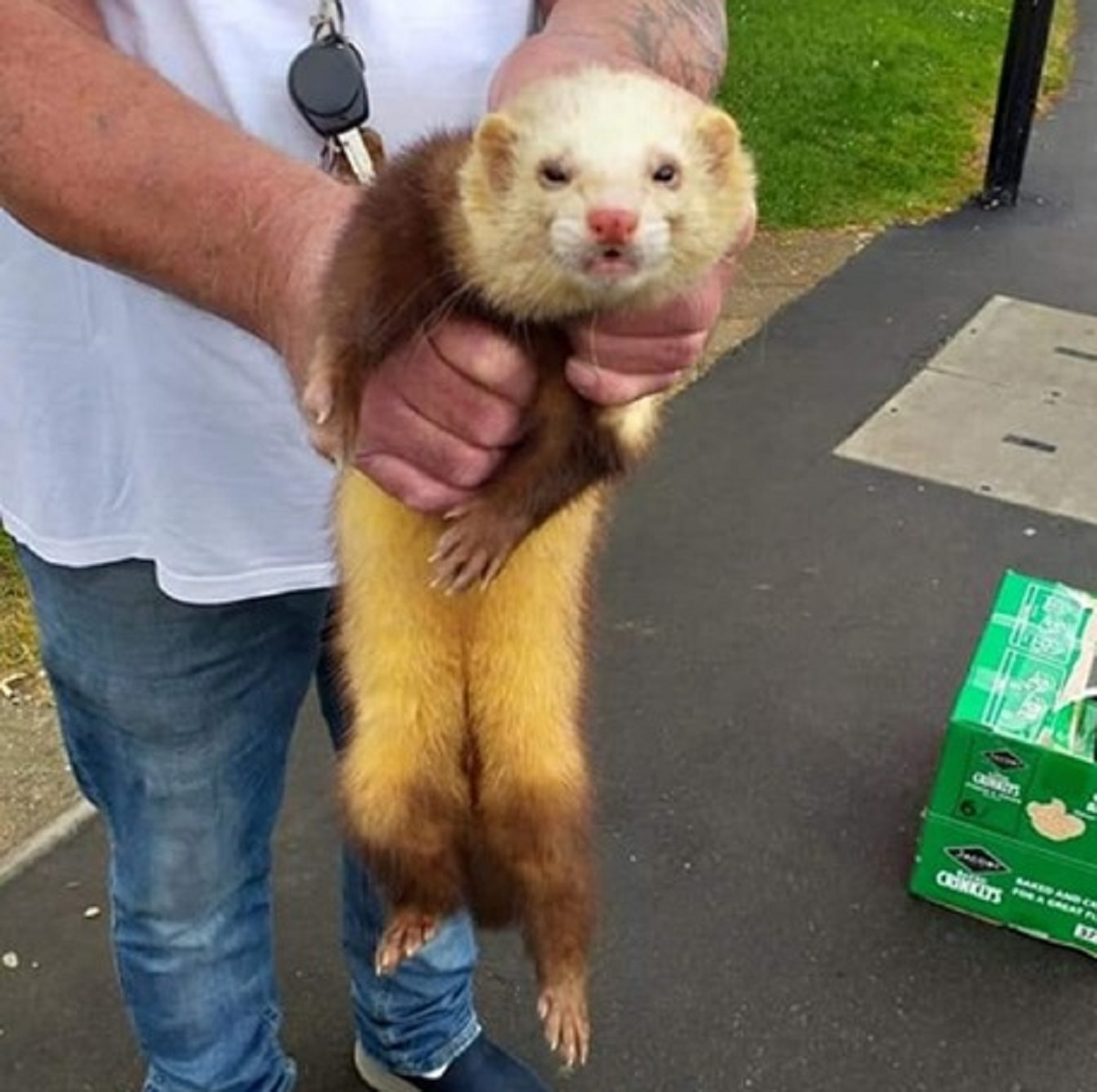 Ginger ferret found outside Pan Stores on Isle of Wight (but his brother is still missing)